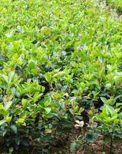 益陽優質油茶苗質量可靠,嫁接油茶苗圖片
