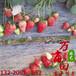 萬畝田紅顏草莓苗,南昌萬畝田草莓苗信譽保證