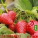 萬畝田甜寶草莓苗,南通萬畝田草莓苗規格齊全