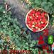 常德萬畝田草莓苗信譽保證