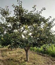 通遼市10公分山楂樹價格量大從優圖片