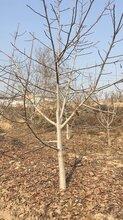 目前8公分10公分12公分薄皮核桃樹產地價格報價圖片