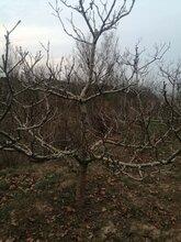 巴彥淖爾山楂樹價格價格實惠,山里紅圖片