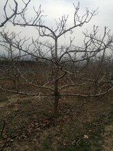 巴彥淖爾山楂樹價格批發,山里紅圖片