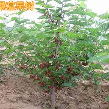 武夷山5公分果桑樹8公分桑葚果樹價格圖片