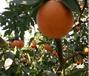 杭州果園果樹資產評估標準,果園果樹價值評估