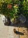 石景山訂制木荷無紡布袋苗優質服務,木荷小苗