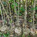 大興生產木荷無紡布袋苗質量可靠,木荷小苗