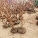 優瑞卡藍莓苗藍莓苗品種優點