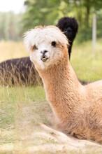 金禾寵物羊駝,浙江湖州供應羊駝圖片