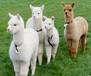 重慶沙坪壩銷售羊駝,寵物羊駝