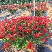 陜西庭院綠化紅葉石楠樹苗苗圃存量富足,紅葉石蘭