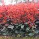 杨凌红叶石楠绿化苗木网,红叶石楠小苗