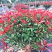 陜西紅葉石楠苗木栽植,紅葉石楠球