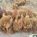 遼寧錦州二年生五味子苗