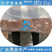 茂业水产彩虹鲷鱼苗,江门供应茂业水产红罗非鱼苗批发市场图片