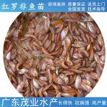 南平售卖茂业水产红罗非鱼苗服务周到,珍珠腊鱼苗图片