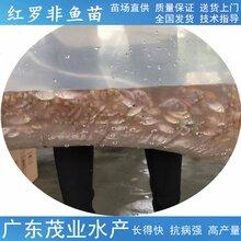 漳州厂家推荐茂业水产红罗非鱼苗供应出售,珍珠腊鱼苗图片