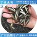 汕尾大量供應丁桂魚苗面向全國發貨,丁鱥魚苗