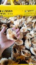 惠州灵山土鸡批发图片