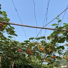 大港去秦皇島旅游翡翠軒農家院采摘圖片
