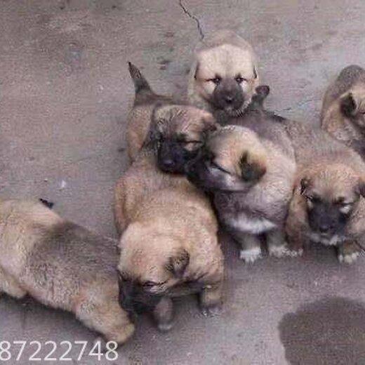 江蘇肉狗養殖-雜交肉狗,改良肉狗