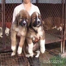 宿州哪有改良肉狗廠家直銷,肉狗改良繁育圖片