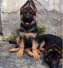 益陽有沒有出售德牧幼犬的圖片