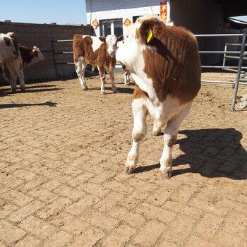 牡丹江西門塔爾小母牛苗價格市場價格