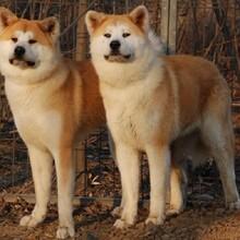 益阳一只日系秋田犬什么价位哪里能买到图片