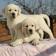 仙桃双血统拉布拉多犬疫苗齐包健康图片