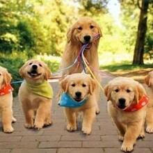 平涼哪里有出售金毛犬的金毛犬幼崽養狗場聯系方式圖片