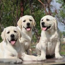 一只純血統金毛犬多少錢正規養狗場出售圖片