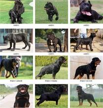 宁德精品神犬小七拉布拉多犬多少钱疫苗齐包健康图片