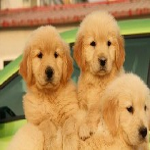 專業血統金毛犬養殖基地養狗場位置圖片