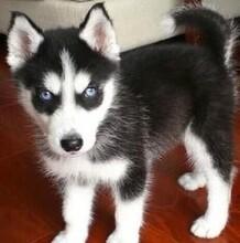 永州哪里有出售精品藍眼三火哈士奇正規養狗基地出售圖片