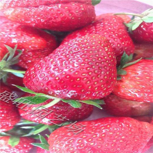 太空2008草莓苗一亩地产量,丰香草莓苗