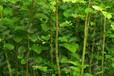 安徽合肥優質大黃苗種植基地