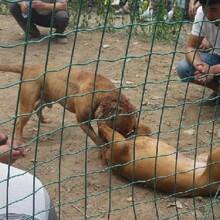 阜陽巨比特犬多少錢一只正規養狗基地出售圖片