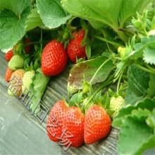草莓苗采摘园品种,隋珠草莓苗图片