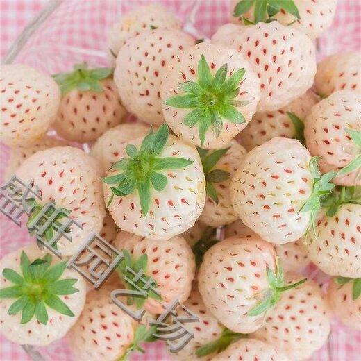 山东桃熏草莓苗咨询电话