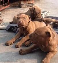 文山巨比特犬多少錢一只哪里能買到圖片