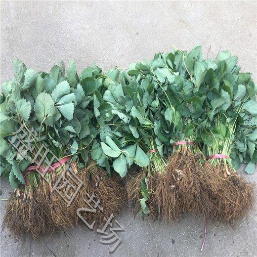 山东自产自销草莓苗产量,甜宝草莓苗