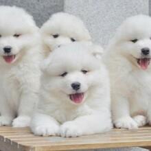 鎮江比格犬幼崽多少錢一只圖片