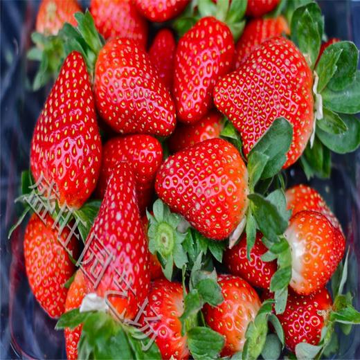 隋珠草莓苗好管理品种,甜宝草莓苗