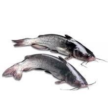 新乐上市快效益好叉尾鮰鱼苗鲈鱼鱼苗市场,鮰鱼苗图片