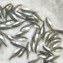 帆布池養殖加州鱸魚苗工廠化魚塘養殖方法,大口黑鱸魚苗圖片