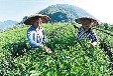 源芽茶廠奶茶店常用茶葉紅茶綠茶烏龍茶茶葉,甘肅奶茶店茶葉批發廠家