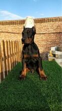 南平纯大骨架黑狼犬多少钱一只正规养狗基地出售图片