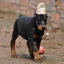 合肥杜賓犬杜賓犬什么價格圖片